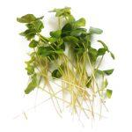 Micro buckwheat