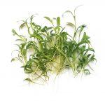 Micro cilantro