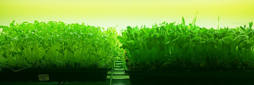 Microgreen varieties