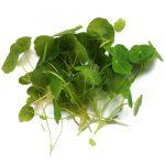 Nasturtium microgreen