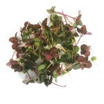 Red shiso microgreen