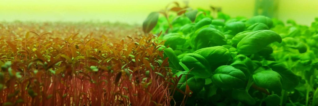 micro amaranth and micro basil