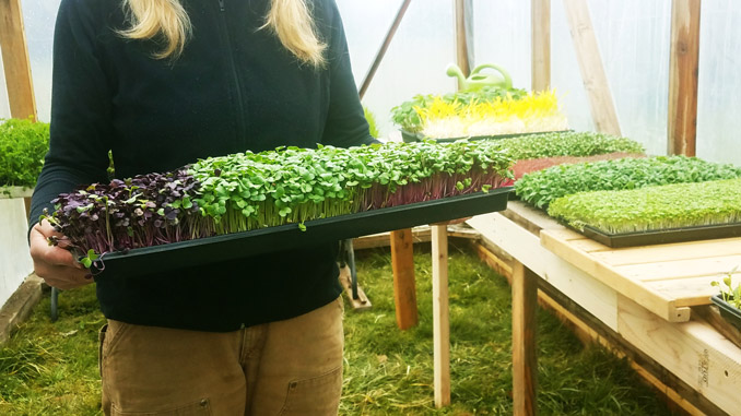 microgreen variety tray in greenhouse
