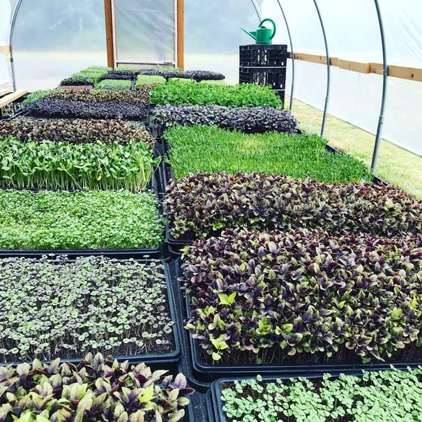 microgreen trays in greenhouse