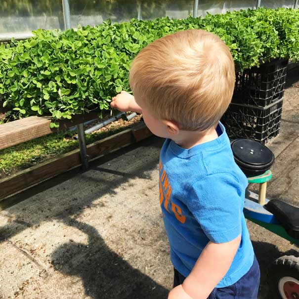 Toddler picking pea shoots
