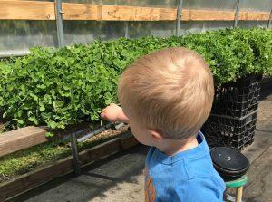 growing microgreens with kids