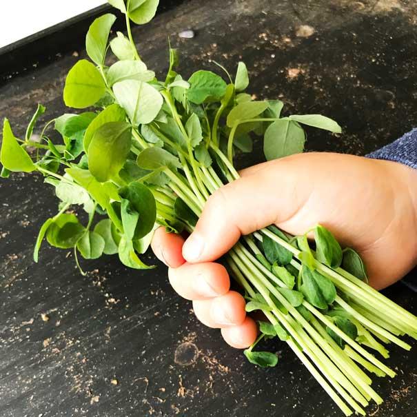 child holding pea shoots