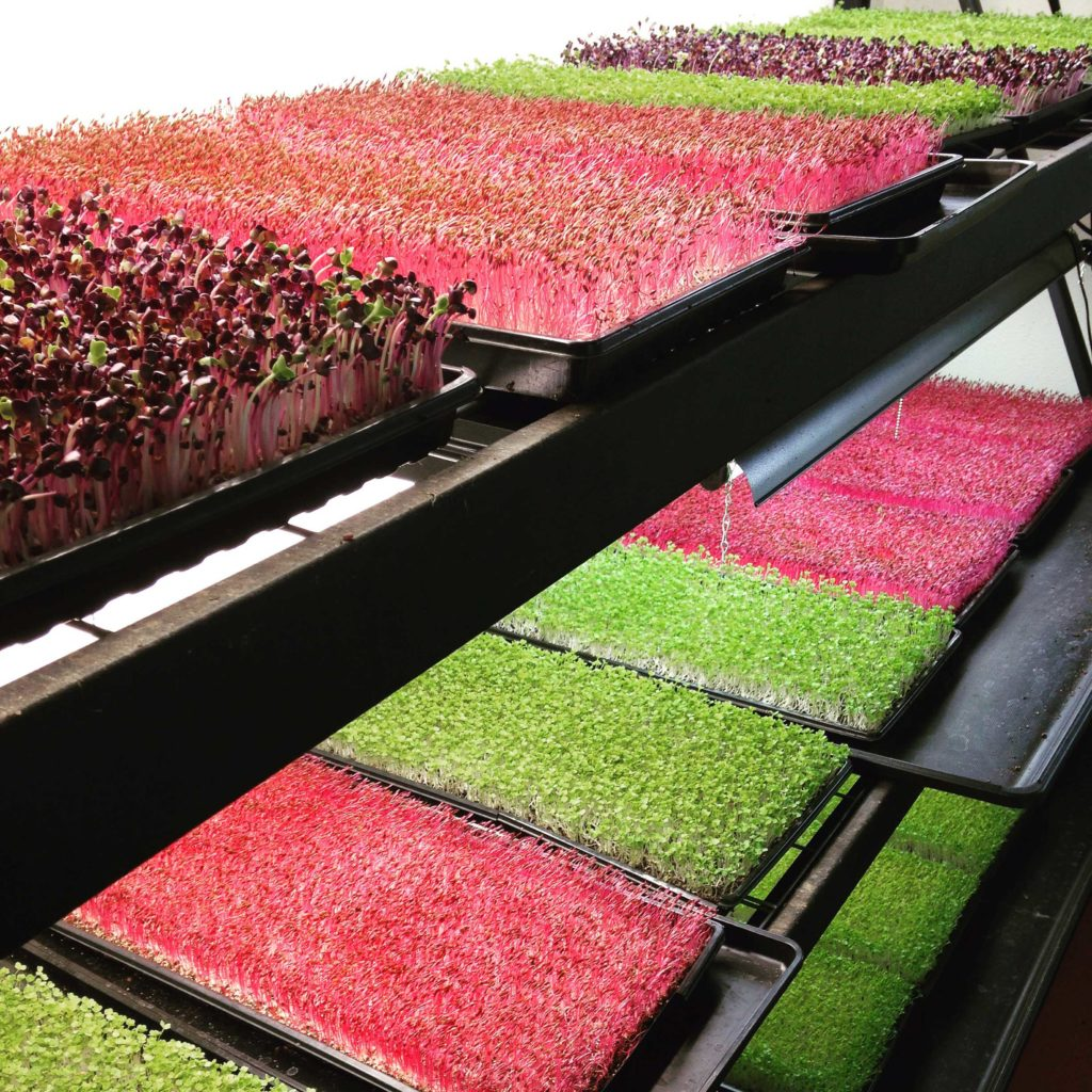 colourful-microgreen-trays