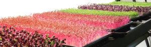 colourful microgreen trays