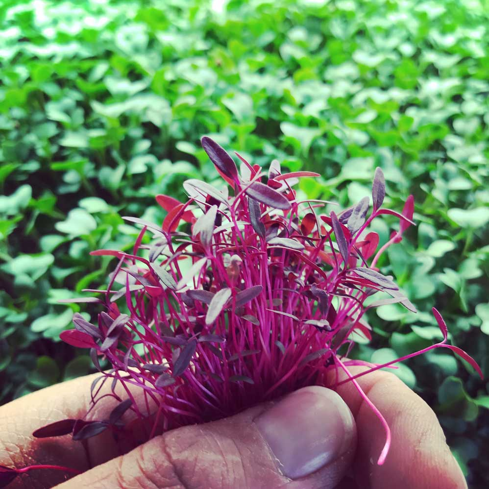 hand holding amaranth microgreen