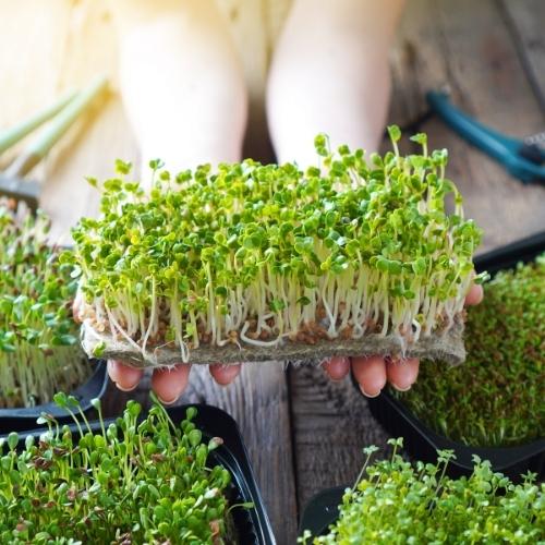 Grow microgreens at home