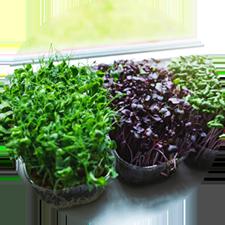 How to grow microgreens on a windowsill