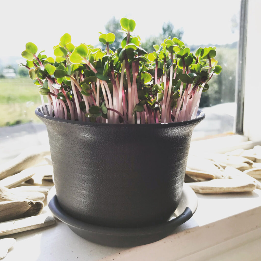 Growing microgreens in sunlight