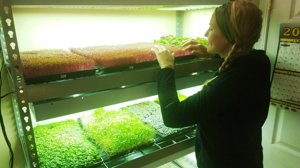 microgreens growing indoor with grow lights